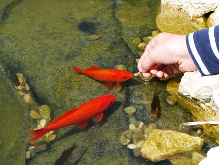 Childs hand feeding goldfishes. photo