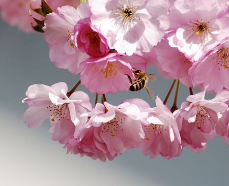 Bee sittin in cherry blossoms. photo