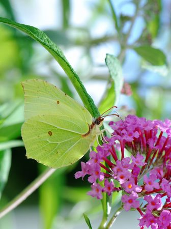 White brimstone butterfly sitting on a lilac flower. Stock Photo - 2981803