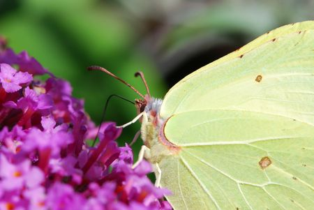 White brimstone butterfly sitting on a lilac flower. Stock Photo - 2981751