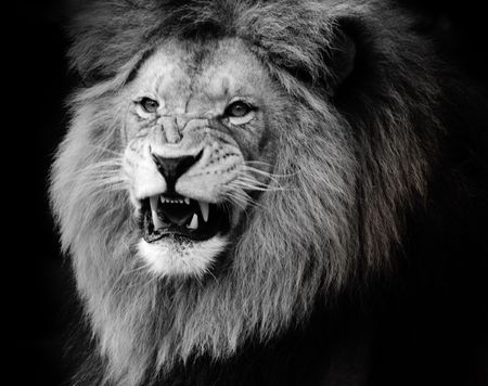 roar: Wild lion portrait in black and white.
