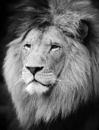Wild lion portrait in black and white. photo