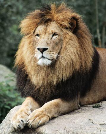 Lion lying on a rock. photo