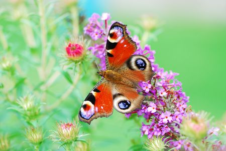 peacock butterfly: Macro de un pavo real mariposa.