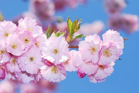 fleurs de cerisiers: De printemps: rose des fleurs de la cerise.