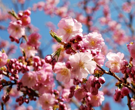 Spring time: pink cherry blossoms. photo
