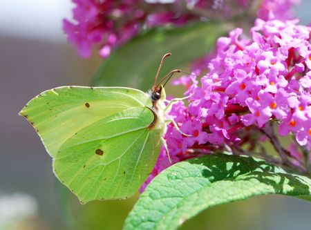 White brimstone butterfly sitting on a lilac flower. Stock Photo - 2982673