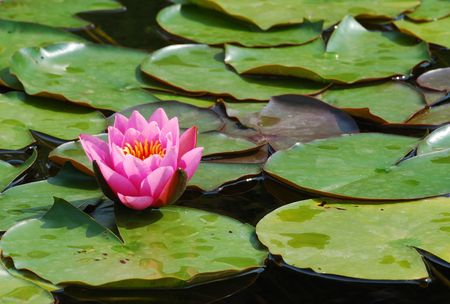 Pink water lily in a pond. Stock Photo - 2982714