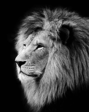 white lion: Wild lion portrait in black and white.