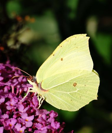 White brimstone butterfly sitting on a lilac flower. photo