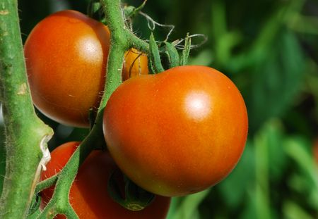 Growing tomatoes in the garden.