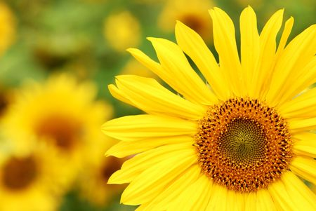 Field of yellow sunflowers. photo