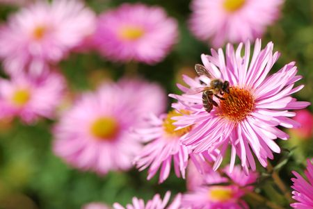 Bee on a pink aster flower. Stock Photo - 2996647