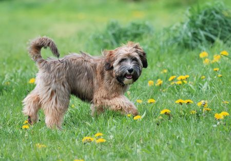 Young Tibetian terrier puppy standing in a meadow