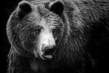 imposing: Black and white portrait of an imposing bear Stock Photo