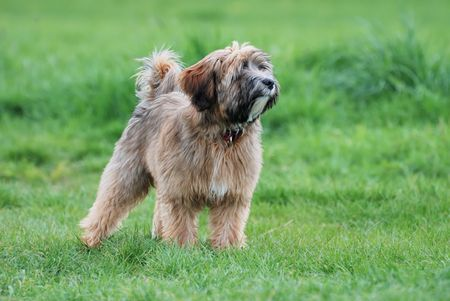 Young Tibetan terrier puppy standing in a meadow photo