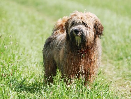 Young brown tibetan terrier puppy Stock Photo
