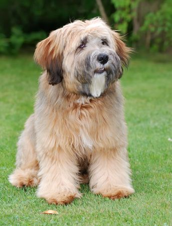 Young brown tibetan terrier puppy photo