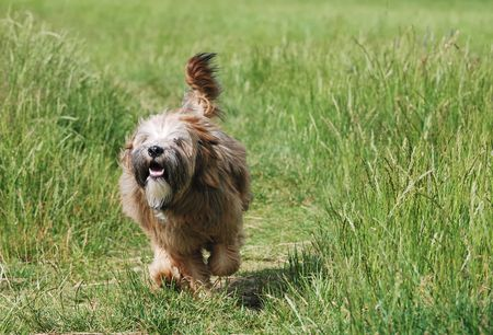 Young brown tibetan terrier puppy Stock Photo - 3330907