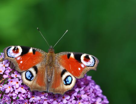 Beautiful red peacock butterfly sitting on a buddleia photo