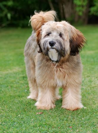 Young brown tibetan terrier puppy Stock Photo