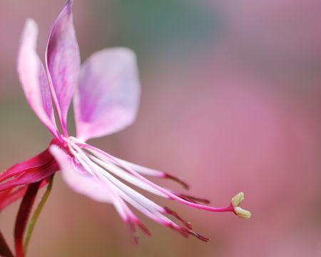 pistil: Pistil of a pink flower