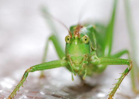 Macro of a green grasshopper photo