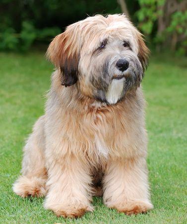 Young brown tibetan terrier puppy Stock Photo - 3744690