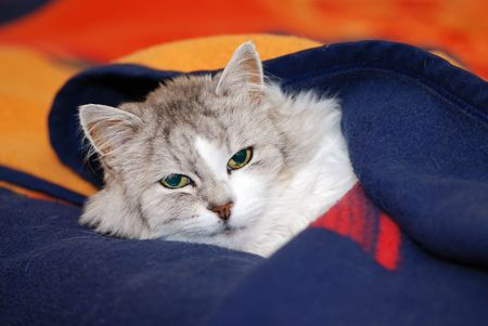 dozing: Persian cat dozing under a blanket