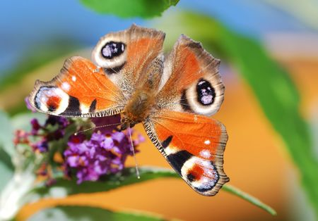 Peacock butterfly on a lilac flower. Stock Photo - 3781118