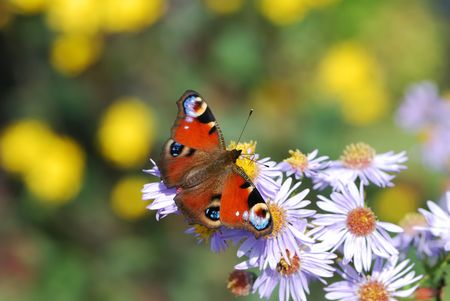Peacock butterfly on white aster flowers. photo