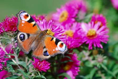 Peacock butterfly on pink aster flowers. photo