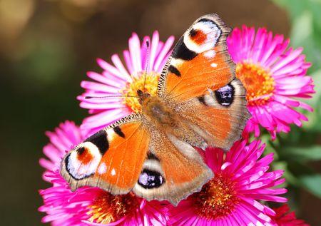 peacock butterfly: Peacock mariposa sobre las flores de color rosa Aster.
