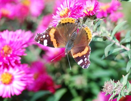 admiral: Admiral Butterfly on pink aster flowers Stock Photo