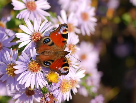 Peacock butterfly on whtie aster flowers. photo