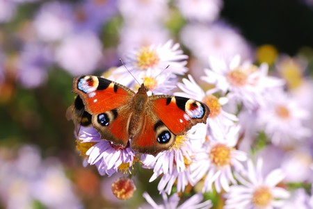 Peacock butterfly on aster flowers. photo