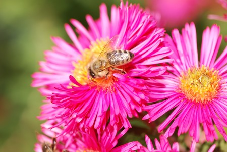 Honeybee collecting pollen on a pink aster flower Stock Photo - 4294455