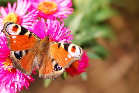 peacock butterfly: Pav�n en flor Aster rosa Foto de archivo
