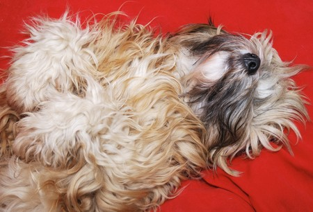 dozing: Portrait of a dozing tibetan terrier dog.