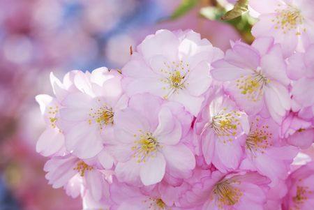 Closeup of Pink cherry blossoms Stock Photo - 4656063