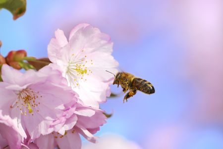 Honeybee flying to pink cherry blossoms photo
