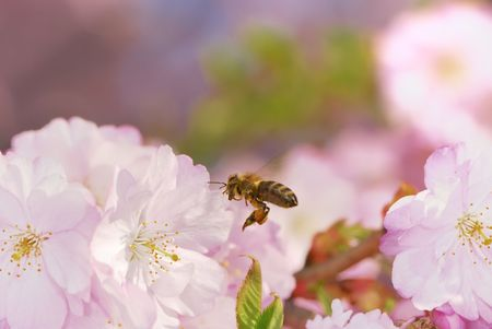 Honeybee flying to pink cherry blossoms Stock Photo - 4700195