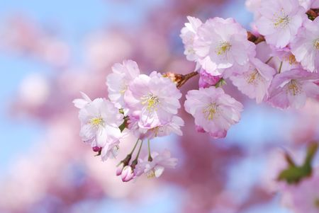 Closeup of pink cherry blossoms Stock Photo - 5227543