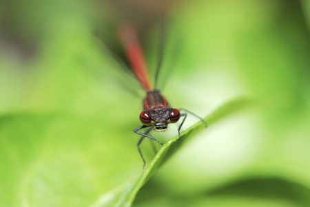 compound eye: Macro of a red dragonfly.