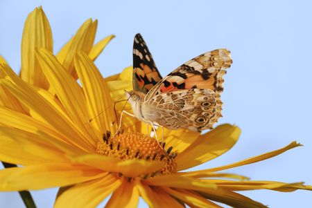 Painted Lady butterfly on a yellow marguerite flower. Stock Photo - 5405505