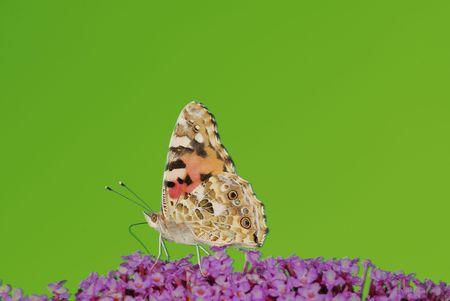Painted Lady Butterfly on a buddleiah flower                       Stock Photo - 5405489