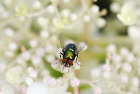 compound eye: Macro of a fly in white flowers.