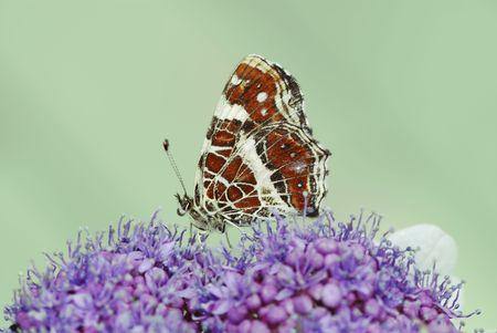 Butterfly on a purple flower. Stock Photo - 5585766