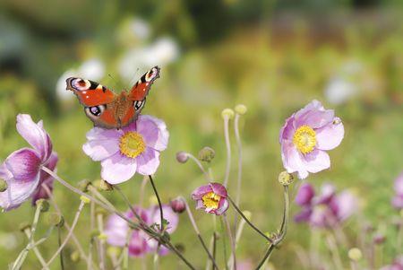 peacock butterfly: Pav�n sentado en flores en el jard�n. Foto de archivo