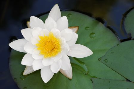 exotic flower: Macro of a white water lily Stock Photo